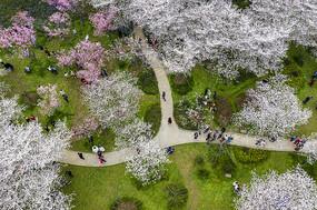 鸟瞰东湖樱花园
