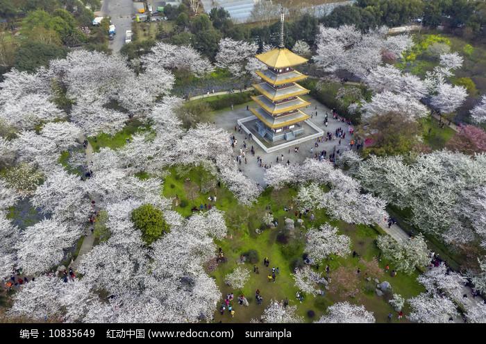 鸟瞰东湖樱花园五重塔图片