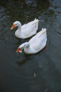 白鹅水中游