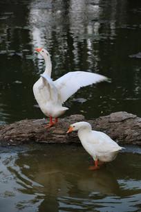大白鹅展翅