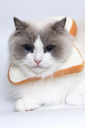 带着吐司头套侧脸凝视的布偶猫