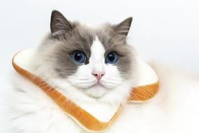 带着吐司头套的布偶猫