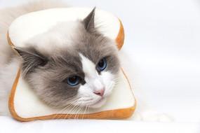 带着吐司头套的发呆的布偶猫
