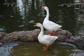 水边大白鹅