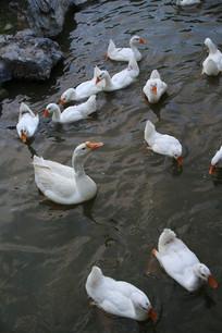 水中白鹅群