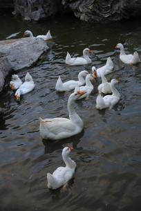 水中游弋的白鹅