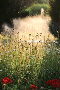夕阳下的野菊花