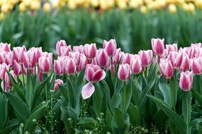 粉红色郁金香