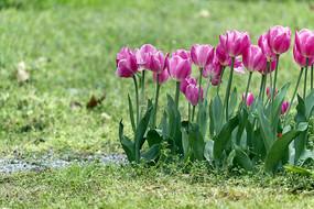 一丛粉红郁金香