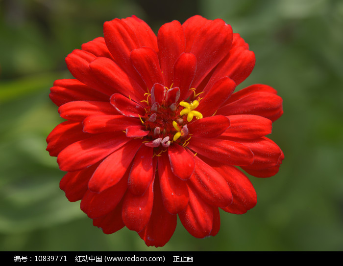 一朵金盏菊花图片