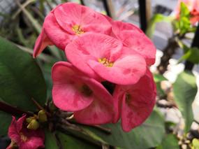 花团锦簇的红色虎刺梅