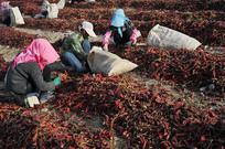 新疆红辣椒丰收
