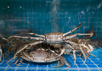 淡水养殖的大闸蟹