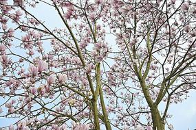 开花的红色玉兰花树
