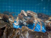 栖息在水底的大闸蟹