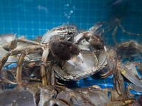 生活在水中大闸蟹