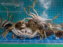在水下打斗的一群大闸蟹