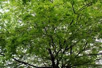 苍天绿色的树叶
