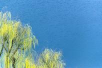 春天河边柳