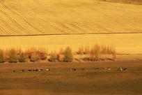 金秋田间牧场牛群风景