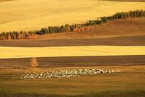 金秋田间牧场羊群风景
