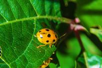 树叶上的一只七星瓢虫