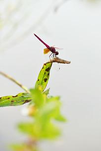 停在叶子上的蜻蜓