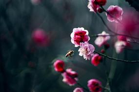 红梅与蜜蜂