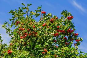 一树树枝上的红色的山楂