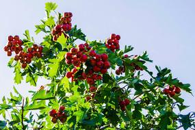 一树枝结满了红色的山楂