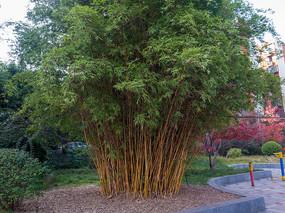 庭院绿化植物小琴丝竹