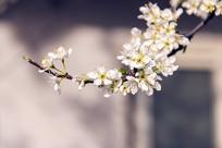 一枝樱花开