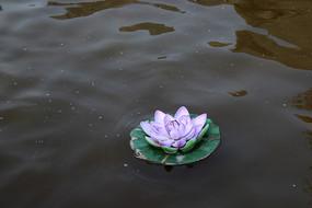 紫色的睡莲