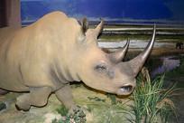 白犀牛标本