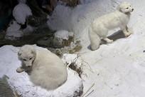 动物标本-北极狐