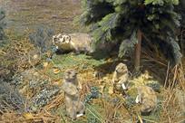 美洲草原犬鼠标本