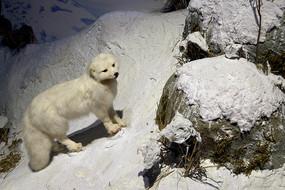 野生动物标本-北极狐