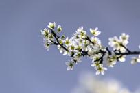 樱桃花摄影图片