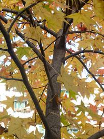 北美枫香树树干和金黄色的枝叶