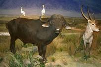 非洲野牛标本和牛背鹭水羚标本