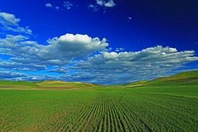 呼伦贝尔农垦麦田