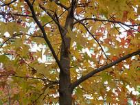 蕈树科观赏树木北美枫香树