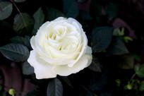 白色的月季花