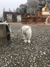 白色内蒙古绒山羊