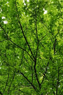 布满的绿色枝叶