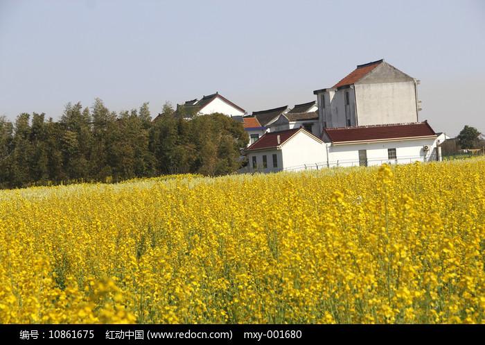 农家菜花图片