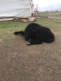 青海高原牦牛