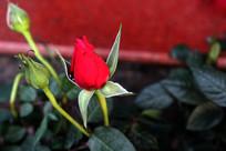 三朵盛开的玫瑰花花苞
