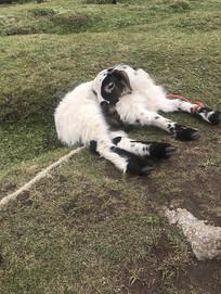 躺在地上的西藏高原羊