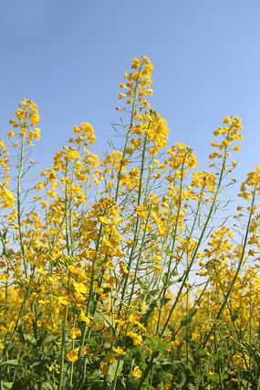 天空油菜花